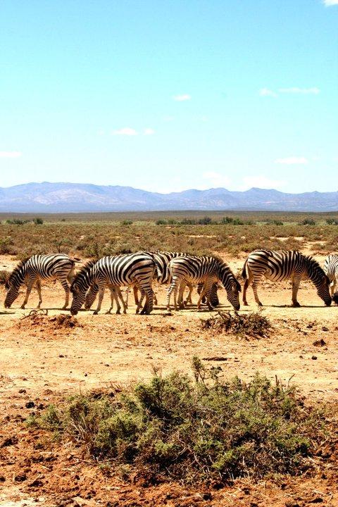 Zebras South Africa